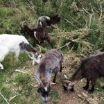 Lightwater Country Park Goats 2017