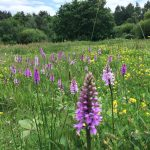 Wild Orchids in the Wildflower Meadow, Lightwater Country Park